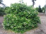 <em>Cephalanthus occidentalis</em> Whole Plant/Habit by Julia Fitzpatrick-Cooper