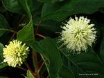 <em>Cephalanthus occidentalis</em> Flower by Julia Fitzpatrick-Cooper
