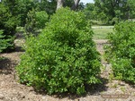 <em>Clethra alnifolia</em> Whole Plant/Habit by Julia Fitzpatrick-Cooper