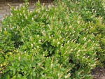 <em>Clethra alnifolia</em> Flower