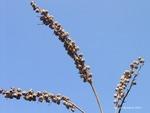 <em>Clethra alnifolia</em> Fruit