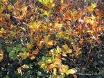 <em>Clethra alnifolia</em> Leaf