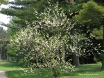 <em>Halesia carolina</em> Whole Plant/Habit by Julia Fitzpatrick-Cooper