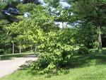 <em>Halesia carolina</em> Whole Plant/Habit