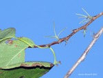 <em>Halesia carolina</em> Branch/Twig