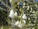 <em>Halesia carolina</em> Flower