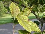 <em>Halesia carolina</em> Leaf