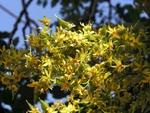 <em>Koelreuteria paniculata</em> Flower