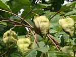 <em>Koelreuteria paniculata</em> Fruit