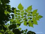 <em>Koelreuteria paniculata</em> Leaf