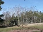 <em>Koelreuteria paniculata</em> Winter Interest