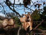 <em>Koelreuteria paniculata</em> Special ID Features