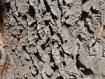 <em>Phellodendron amurense</em> Bark