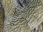 <em>Phellodendron amurense</em> Bark by Julia Fitzpatrick-Cooper
