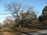 <em>Phellodendron amurense</em> Winter Interest