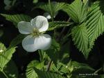 <em>Rhodotypos scandens</em> Flower
