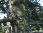 <em>Abies concolor</em> Bark