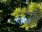 <em>Abies concolor</em> Leaf Number/Attachment