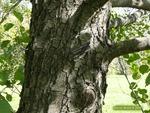 <em>Alnus glutinosa</em> Bark by Julia Fitzpatrick-Cooper