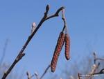 <em>Alnus glutinosa</em> Bud: Vegetative by Julia Fitzpatrick-Cooper
