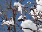 <em>Alnus glutinosa</em> Winter Interest