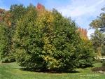 <em>Carpinus betulus</em> Whole Plant/Habit by Julia Fitzpatrick-Cooper