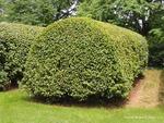 <em>Carpinus betulus</em> Whole Plant/Habit