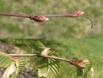 <em>Carpinus betulus</em> Branch/Twig