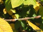 <em>Carpinus betulus</em> Bud by Julia Fitzpatrick-Cooper