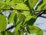<em>Carpinus betulus</em> Leaf by Julia Fitzpatrick-Cooper