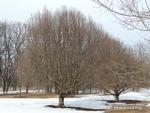 <em>Carpinus betulus</em> Winter Interest