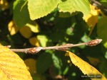 <em>Carpinus betulus</em> Special ID Feature by Julia Fitzpatrick-Cooper