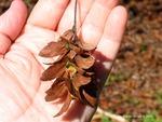 <em>Carpinus caroliniana</em> Flower/Fruit by Julia Fitzpatrick-Cooper