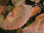 <em>Carpinus caroliniana</em> Leaf by Julia Fitzpatrick-Cooper
