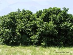 <em>Corylus americana</em> Whole Plant/Habit by Julia Fitzpatrick-Cooper