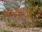 <em>Corylus americana</em> Whole Plant/Habit