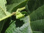 <em>Corylus americana</em> Fruit