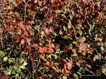 <em>Corylus americana</em> Leaf