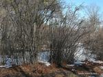 <em>Corylus americana</em> Winter Interest