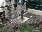 <em>Corylus avellana</em> 'Contorta' Whole Plant/Habit by Julia Fitzpatrick-Cooper