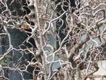 <em>Corylus avellana</em> 'Contorta' Branch/Twig