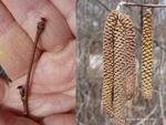 <em>Corylus avellana</em> 'Contorta' Flower