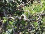 <em>Corylus avellana</em> 'Contorta' Special ID Feature