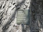 <em>Corylus colurna</em> Bark