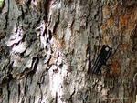 <em>Corylus colurna</em> Bark by Julia Fitzpatrick-Cooper