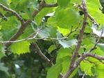 <em>Corylus colurna</em> Branch/Twig by Julia Fitzpatrick-Cooper