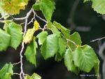 <em>Corylus colurna</em> Leaf