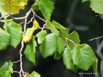 <em>Corylus colurna</em> Leaf by Julia Fitzpatrick-Cooper