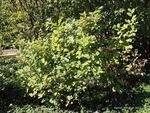 <em>Fothergilla gardenii</em> Whole Plant/Habit by Julia Fitzpatrick-Cooper