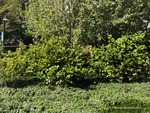 <em>Fothergilla gardenii</em> Whole Plant/Habit by Julia Fitzpatrick-Cooper